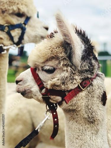 Fototapeta premium Close-up Of Alpaca Wearing Pet Collar