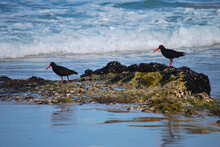 Oyster Catchers Of South Africa