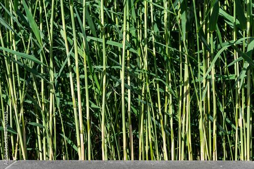Fotografia Bamboos Growing On Field
