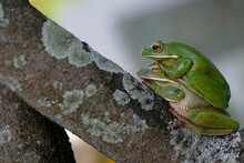 Close-up Of Frogs Mating On Trees
