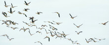 A Large Flock Of Geese Silhouetted Against A Blue And White Sky. Movement, Selective Focus. Panorama, Long Cover, Social Media