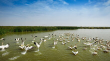 Many Wild Pelicans Rise From Water, Africa