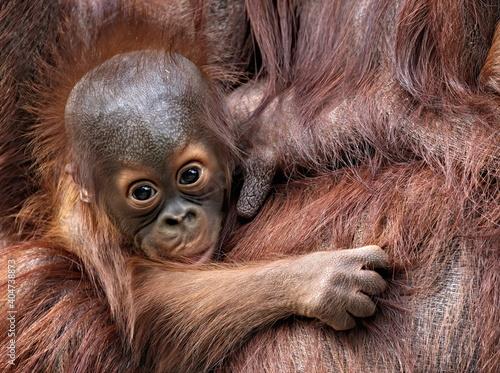 Fotomural Baby Orangutan next to mothers teat.