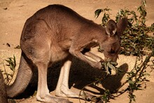 View Of A Kangaroo On Land