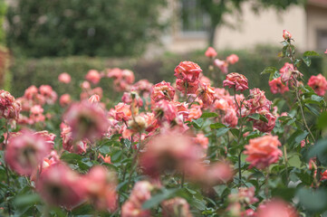 Krzew róży z dużą ilością pięknych kwiatów