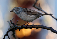 The Dunnock Is A Small Passerine, Or Perching Bird, Found Throughout Temperate Europe And Into Asian Russia.