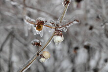 Beautiful Ice-covered Wild Rose Branches With Berries After Freezing Rain On A Winter Day