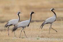 Jufferkraanvogel, Demoiselle Crane, Anthropoides Virgo