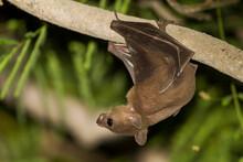 Egyptian Fruit Bat, Rousettus Aegyptiacus