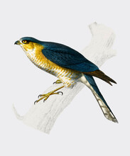 Eurasian Sparrowhawk (Accipiter Nisus) Illustrated By Charles Dessalines D'Orbigny (1806-1876). Digitally Enhanced From Our Own 1892 Edition Of Dictionnaire Universel D'histoire Naturelle.