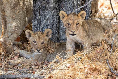Tela lion cub at etosha