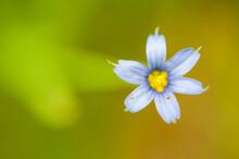 Blue-Eyed Grass Close Up