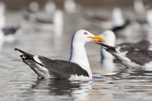 Lesser Black-backed Gull, Britse Kleine Mantelmeeuw, Larus Fuscus Ssp. Graellsii