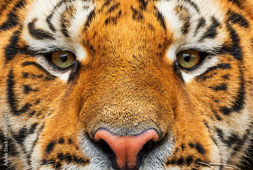 Foto Siberian Tiger - Panthera tigris, beautiful large cat from Asian forests and woodlands, Russia