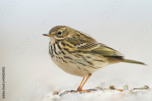 Photo Graspieper, Meadow Pipit, Anthus pratensis pratensis