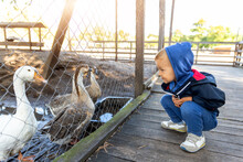 Little Cute Adorable Caucasian Curious Blond Toddler Boy In Hood Sitting Near Many Geese On Farm Poultry Yard Enjoy Having Fun Watchng Anilmals. Children Outdoor Zoo Activities. Pet Care Concept