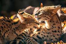 A Young Serval Couple Is Lying In The Sun