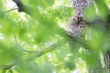 Bosuil, Tawny Owl, Strix Aluco