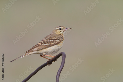 Photo Duinpieper, Tawny Pipit, Anthus campestris griseus