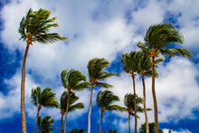 Strong Winds Sway Palm Trees
