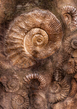Ammonite Fossils On The Surface Of The Stone