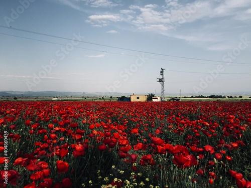 Fototapeta Red Flowering Plants On Field Against Sky obraz na płótnie