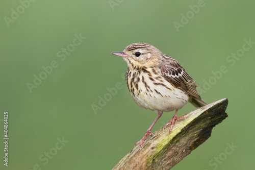 Canvas Print Boompieper, Tree Pipit, Anthus trivialis