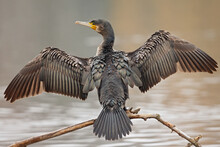 A Great Cormorant (Phalacrocorax Carbo) Drying Its Wings After A Swim At A Lake.