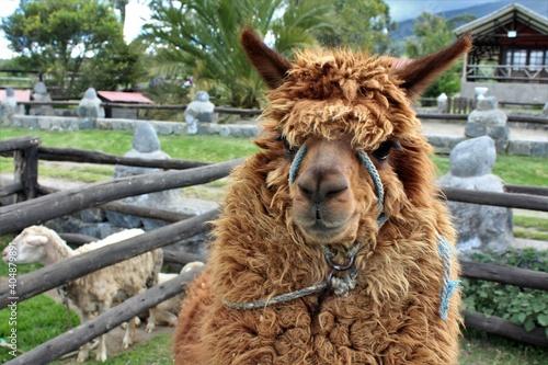 Fototapeta premium Portrait Of An Animal Alpaca