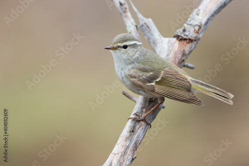 Photo Bladkoning, Yellow-browed Warbler, Phylloscopus inornatus