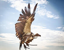 Low Angle View Of A Vulture Flying Against Sky Showing Its Large Wingspan