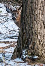 Young Buck Whitetail Deer Behind A Tree In Woods