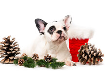 Puppy Christmas French Bulldog Isolared On White