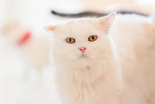 Chinchilla Cat Looking