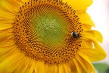 Słonecznik, Kwiat. Zdrowie, Pszczoła, Zapylić, żółty, Polny, Ogród, Uprawa, Lato, Słońce, Miód, Roślina, Płatki, Nasiona