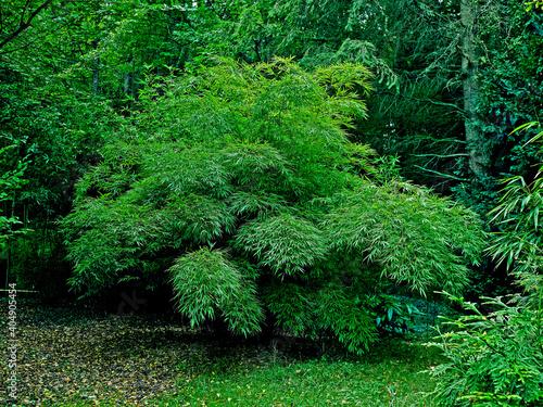 Fotografia Bamboo Chimonobambusa tumidissinoda in a French garden