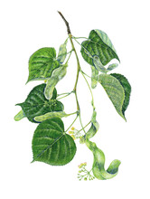 Botanical Illustration Of A Branch Of Linden (Tilia Hybrida) With Leaves And Flowers. Watercolor, Handmade