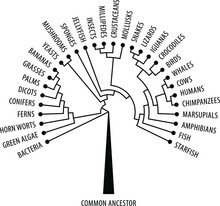 The Evolutionary Tree Of Life Showing Diversification And Branching.