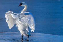Swan Bird Winer Ice Nature Wildlife