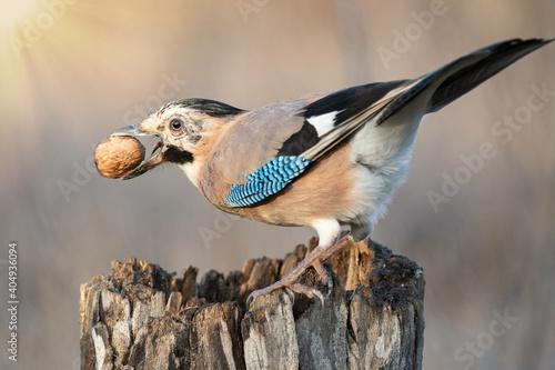Fotografie, Obraz Eurasian Jay Garrulus glandarius sitting on a stump with a nut in its beak