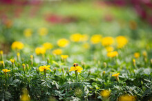 Bumblebee On A Yellow Flower In A Green Colorful Field. Frame With A Beautiful Blur Of The Background, Bokeh