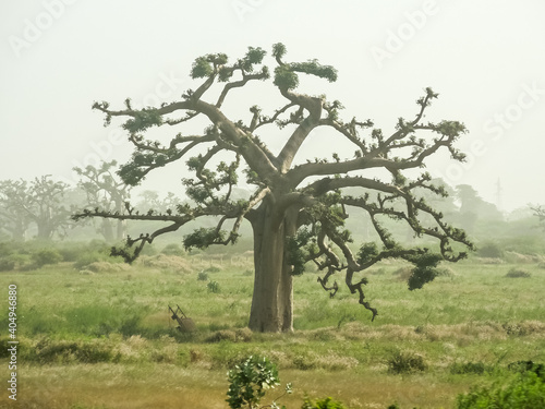 Canvas Giant baobabs from the Bandia nature reserve in Senegal