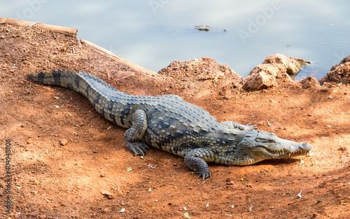 Canvastavla African crocodile on the shore of a lake