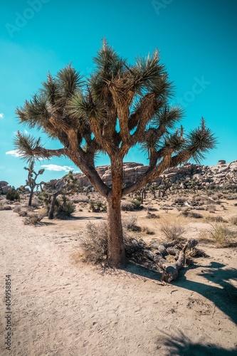 Obraz Trees On Desert Against Clear Blue Sky - fototapety do salonu