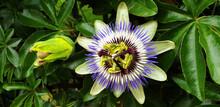 Panorama Of White, Blue Flower Passiflora Caerulea Or Passiflora Edulis.