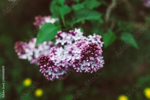 Obraz Kwiat czarnego bzu - fototapety do salonu