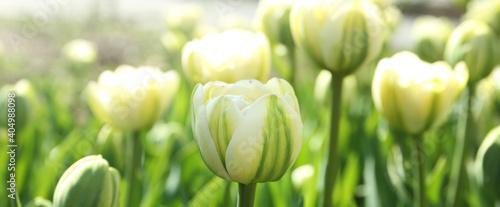 Fototapeta Beautiful blooming tulips outdoors on sunny day. Horizontal banner design obraz