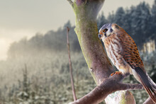 Young Falcon On Branch Of Tree In Front Of Snowy Landscape