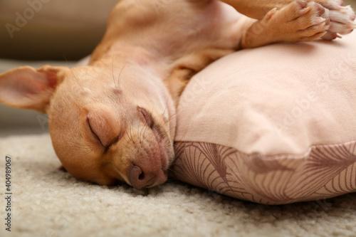 Fotografia, Obraz Chihuahua dog sleeping on pillow at home, closeup. Adorable pet