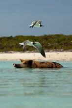 Black-headed Gull Flying Over Pig Swimming In Sea